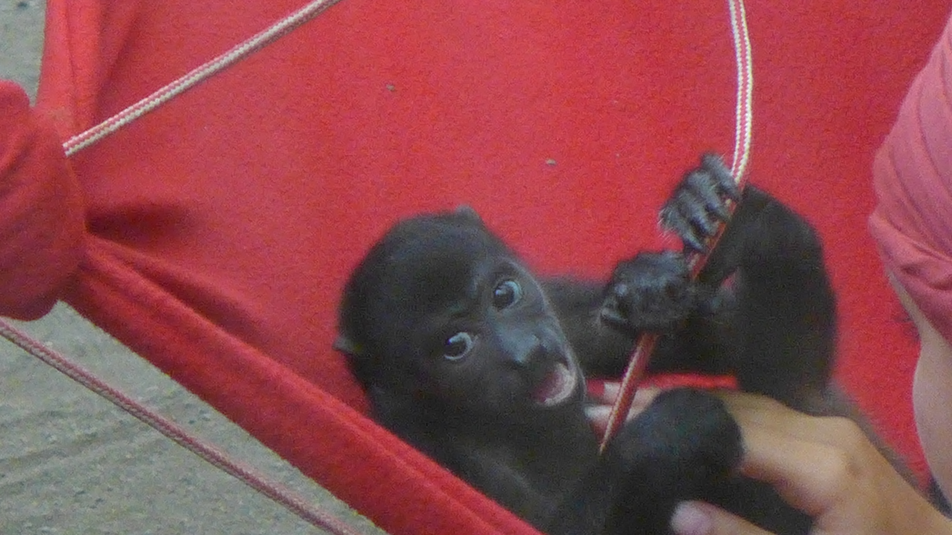 baby monkey in a red hammock being cared for by a volunteer