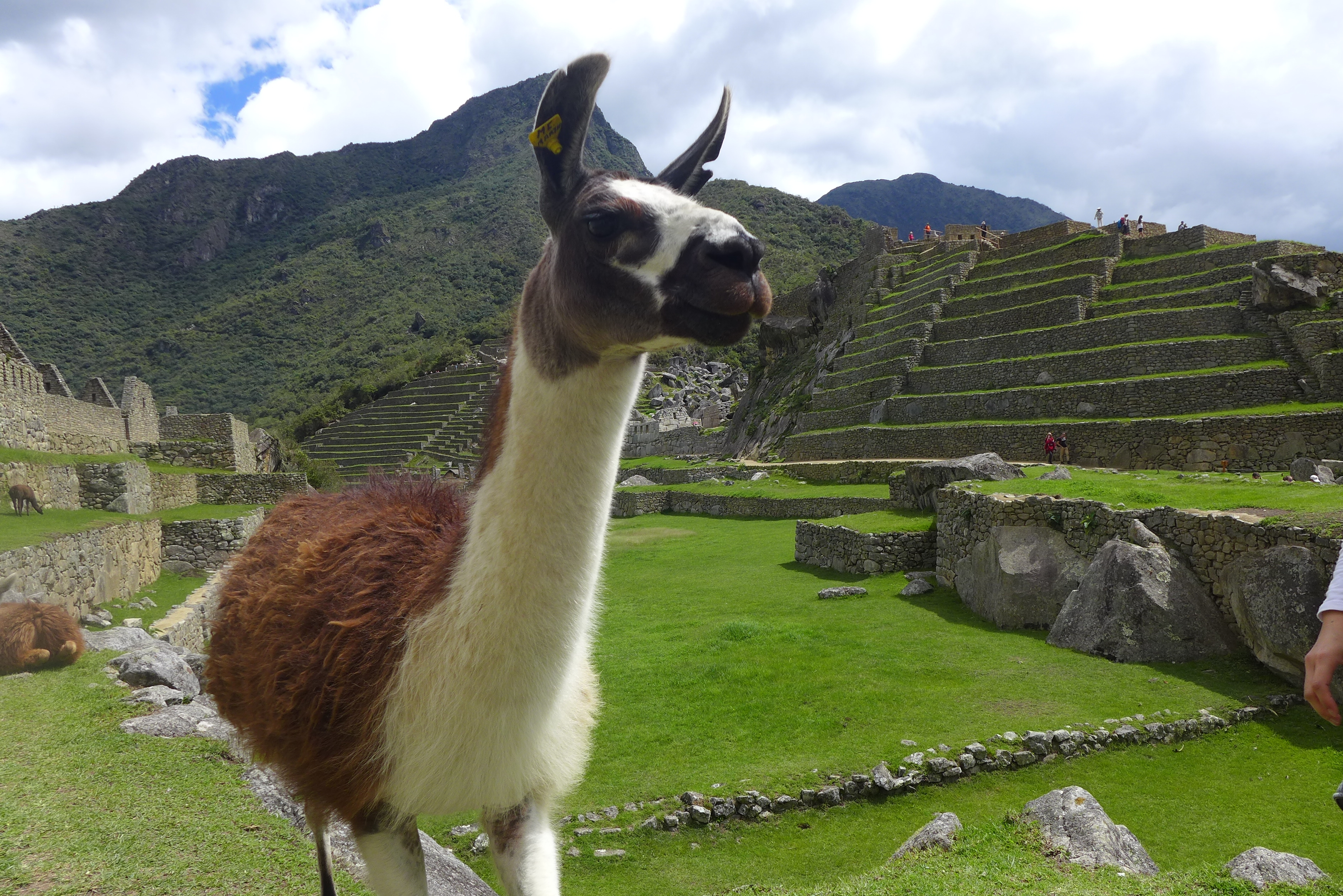 llama standing in the ruins