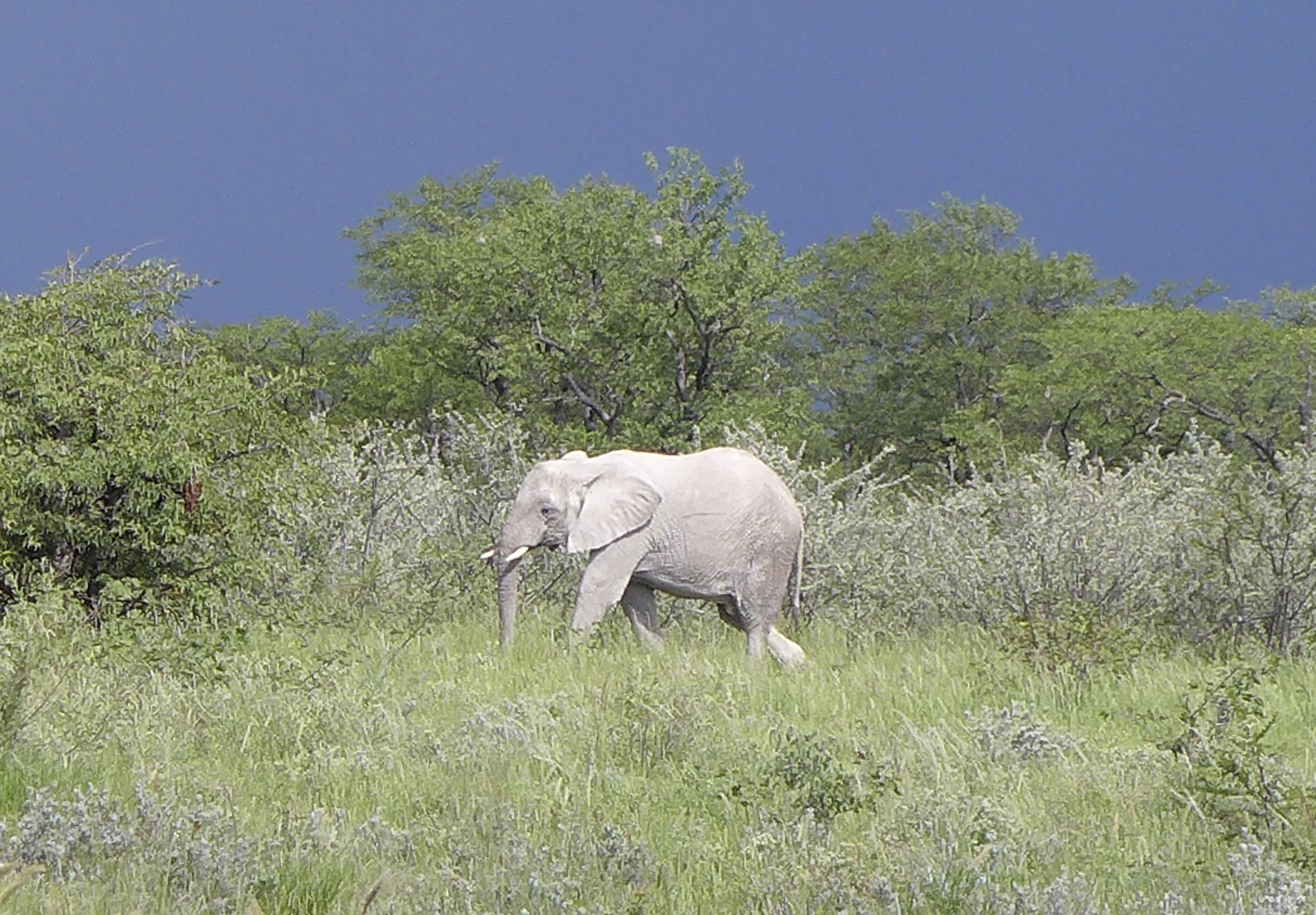 Silver elephant in the green brush with a stormy sky
