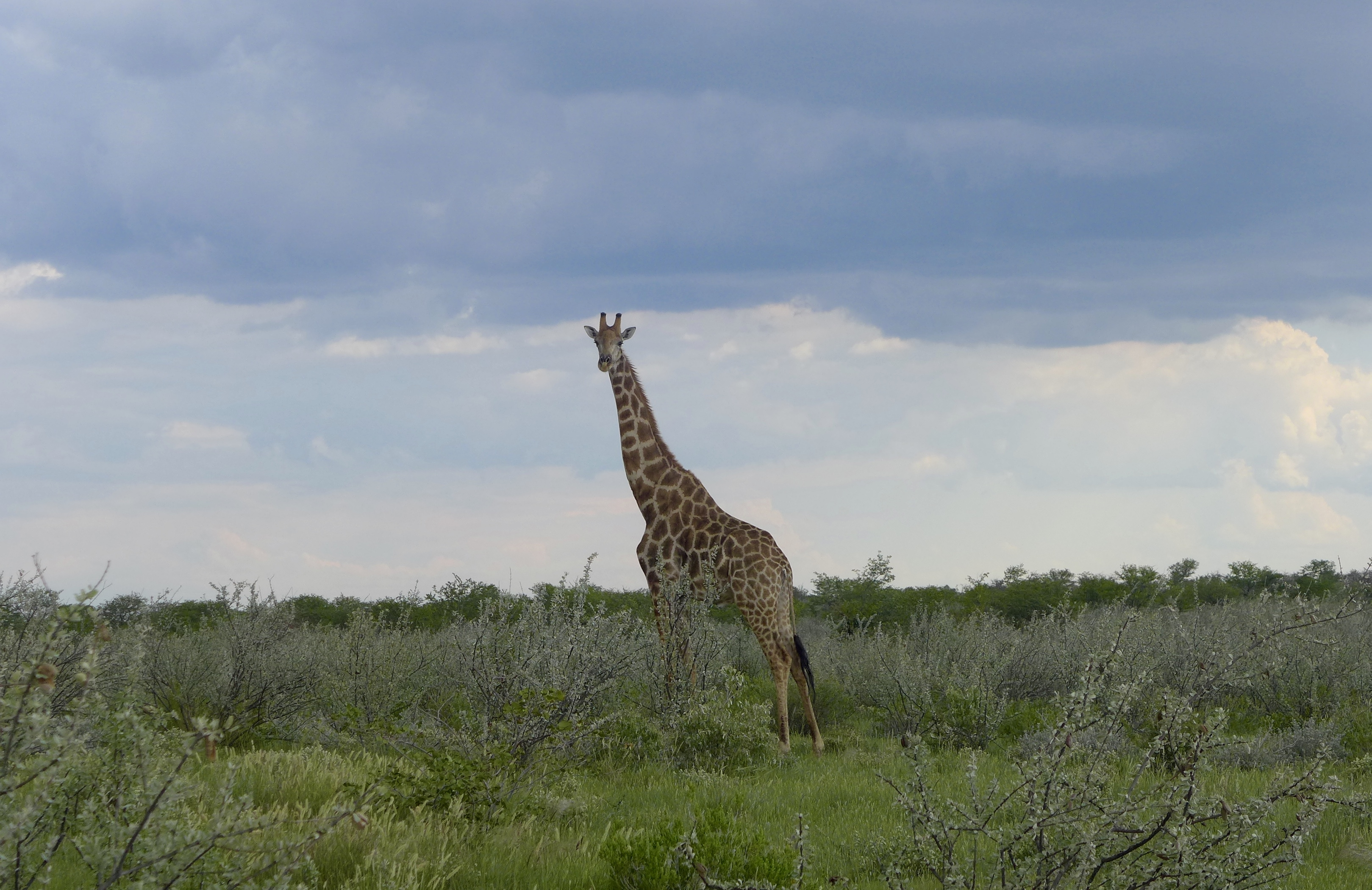 Single giraffe stands in the green bush with storm clouds behind