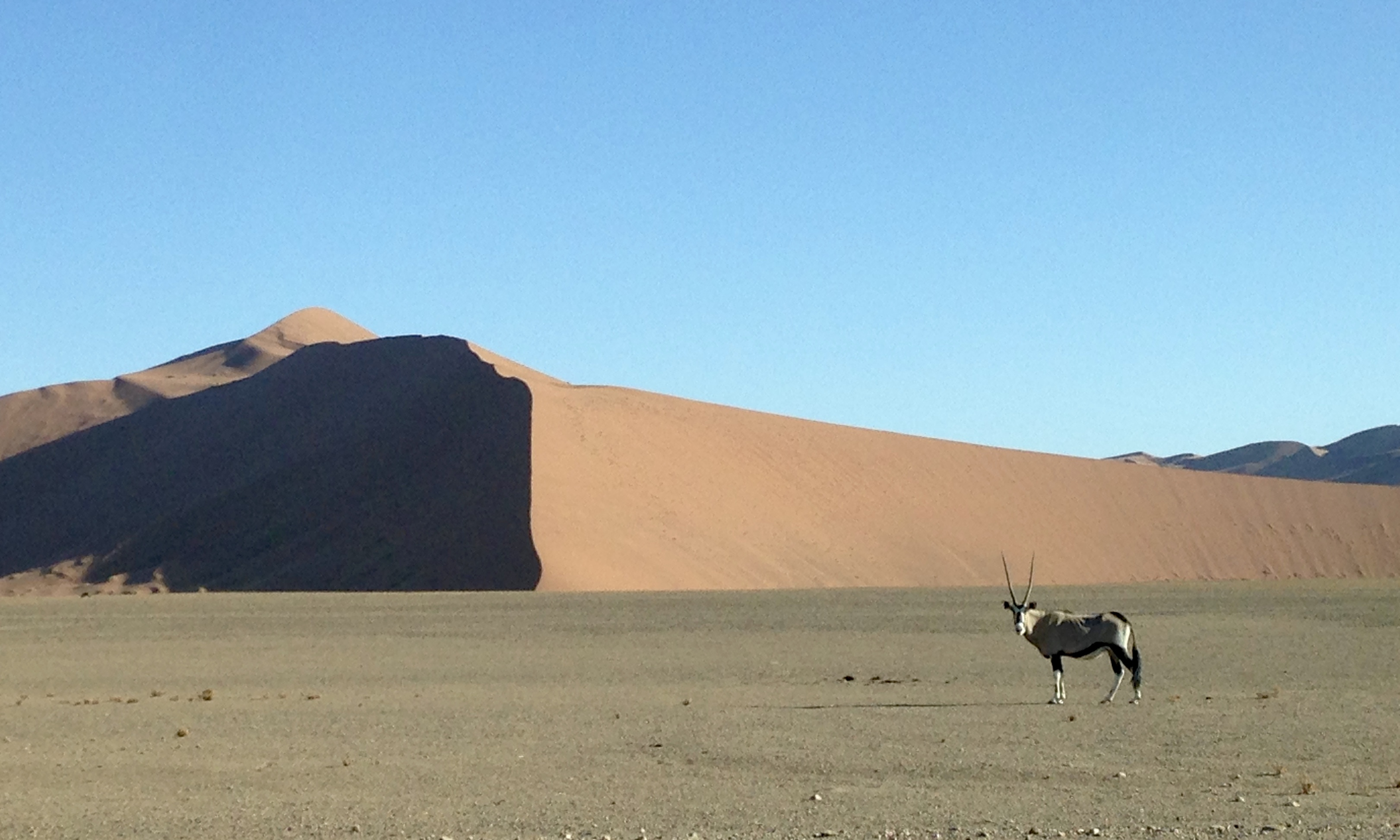 Oryx stands alone in front of a red sand due and blue sky