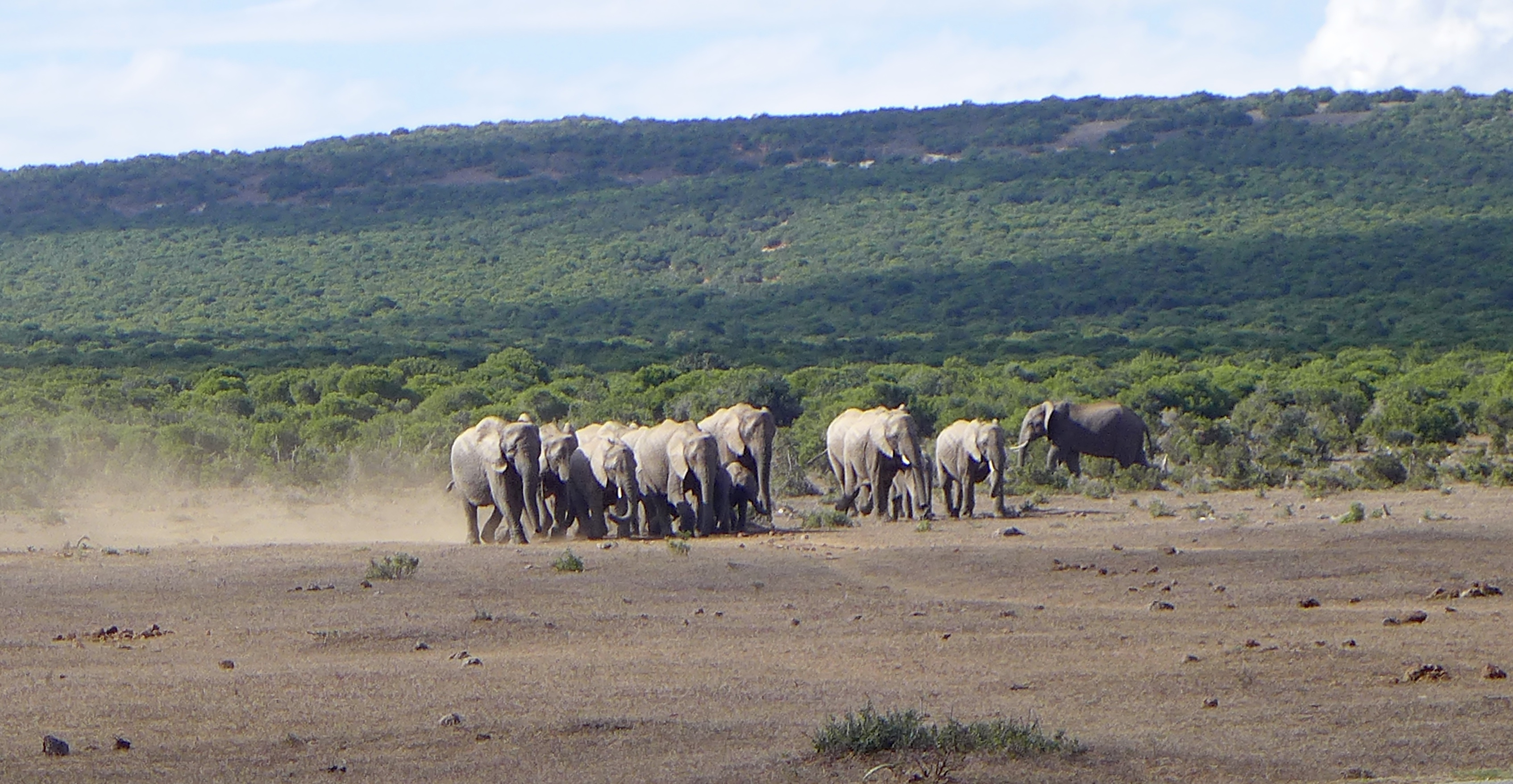 Herd of elephants run toward the camera from the bush behind